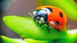 Ladybug sitting on a flower leaf warm spring day on a leaf insect beetle