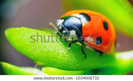 Photo of Ladybug sitting on a flower leaf warm spring day on a leaf insect beetle