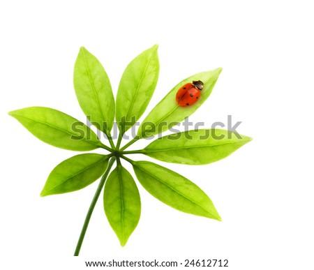 Ladybug sitting on a green leaf. Isolated on white background