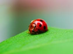 Ladybug  sitting on green leaf , close-up with nature background.