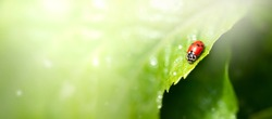 Ladybug sitting on green leaf on a sunny spring or summer day, clean environment eco banner background with fresh juicy tree foliage close-up and sun shine, beautiful nature and macro world