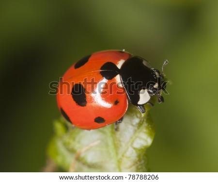 Ladybug sitting on leaf, macro photo
