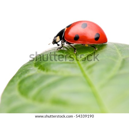 Ladybug sitting on leaf, on white background