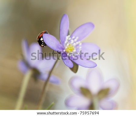 Ladybug sitting on liverleaf (Hepatica nobilis) macro photo