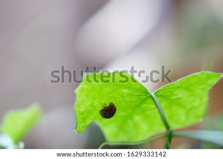 Ladybug staying still on the underside of Ivy gourd's leaf.
