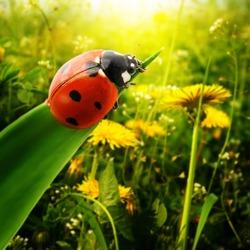 Ladybug sunlight on the field
