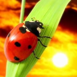 ladybug sunset