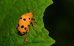 Ladybug walking on a green leaf .