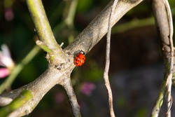 ladybug walking on lemon tree branch