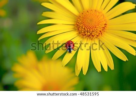 ladybug. Yellow flower