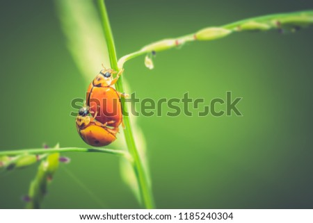 Stock Photo Ladybugs breeding concept, ladybugs on grass on blurred green background nature, It is bugs beautiful small insects. Golden yellow body climp on stem grass