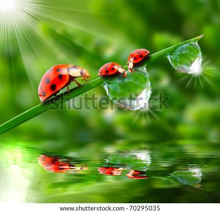 Ladybugs drinking fresh morning dew.