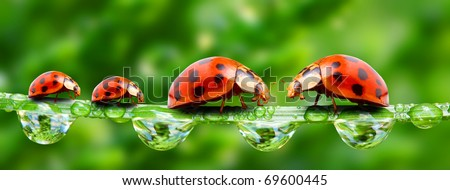 Ladybugs family on a grass bridge. Close up with shallow DOF.