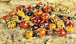 Ladybugs (ladybirds) (Coleoptera: Coccinellidae). Adults. Color biodiversity of ladybirds on green leaf