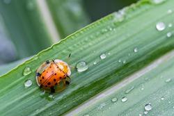 Ladybugs on a Leaf,Tortoise Shell Beetle,Golden Tortoise Beetle
