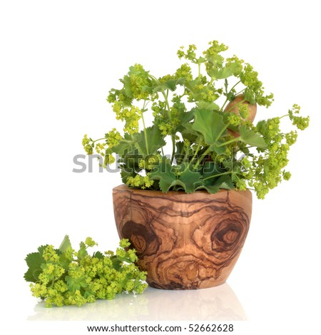 Ladys mantle herb in an olive wood mortar with pestle and leaf and flower sprig, isolated over white background with reflection. Alchemilla vulgaris.