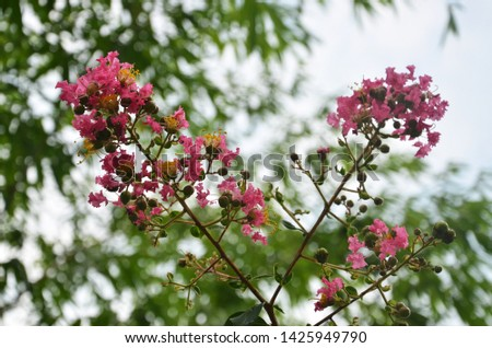 Lagerstroemia indica as a garden ornamental plant, has its own unique beauty and appreciation. It blooms in summer with long bloom duration and colourful flowers. So it is an important landscape plant #1425949790