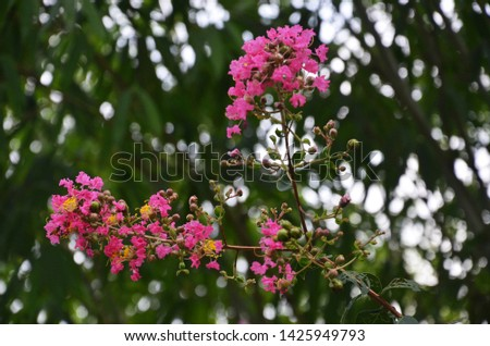 Lagerstroemia indica as a garden ornamental plant, has its own unique beauty and appreciation. It blooms in summer with long bloom duration and colourful flowers. So it is an important landscape plant #1425949793