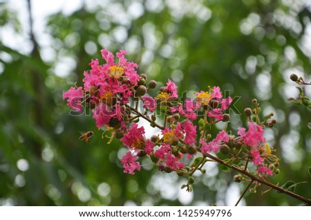 Lagerstroemia indica as a garden ornamental plant, has its own unique beauty and appreciation. It blooms in summer with long bloom duration and colourful flowers. So it is an important landscape plant #1425949796