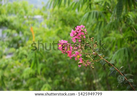 Lagerstroemia indica as a garden ornamental plant, has its own unique beauty and appreciation. It blooms in summer with long bloom duration and colourful flowers. So it is an important landscape plant #1425949799