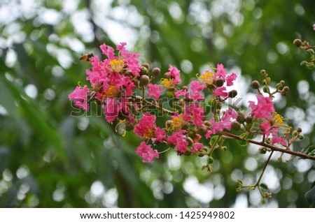 Lagerstroemia indica as a garden ornamental plant, has its own unique beauty and appreciation. It blooms in summer with long bloom duration and colourful flowers. So it is an important landscape plant #1425949802