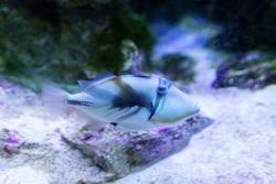 Lagoon triggerfish also known as the Blackbar triggerfish, Picasso triggerfish in an aquarium. selective focus