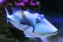 Lagoon triggerfish Rhinecanthus aculeatus, also known as the Blackbar triggerfish, Picasso triggerfish in an aquarium.