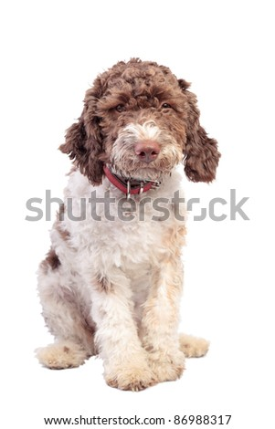 Lagotto Romagnolo isolated