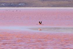 Laguna Colorada flamingos, Bolivia. Puna flamingo. Andean wildlife. Red lagoon