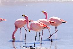 Laguna Hedionda flamingos, Bolivia.  Andean wildlife. Bolivian lagoon