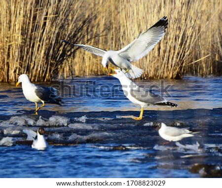 Lake gull, or common gull, or river gull ( Chroicocephalus ridibundus) and the Barabin gull (Larus barabensis).