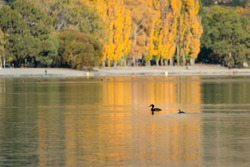 Lake Wanaka with autumn yellow trees reflected in the water and great crested grebes swimming in the lake, South Island