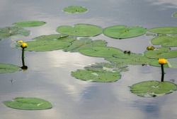 Lake with young yellow Nymphaeaceae, is a family of flowering plants, commonly called water lilies.