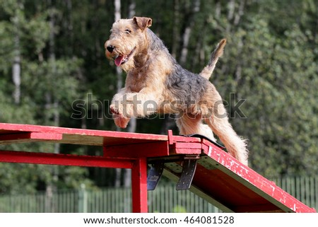 Lakeland Terrier at competitions of Dog agility #464081528