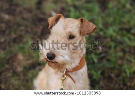 Lakeland Terrier Dog walking on the field #1012503898