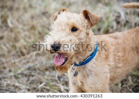 Lakeland Terrier Dog walking on the field #430391263