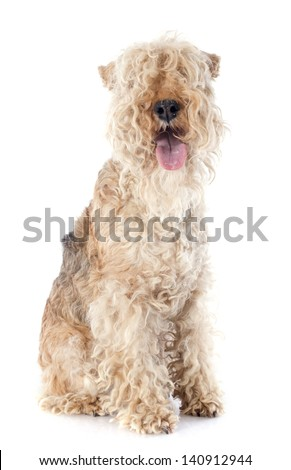 lakeland terrier in front of whie background #140912944
