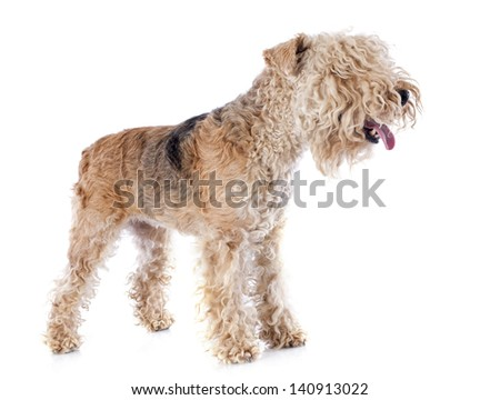 lakeland terrier in front of white background #140913022