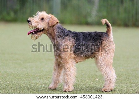 Lakeland Terrier on classes in Dog agility #456001423