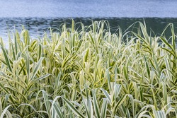 lakeside foliage plants, versicolor arundo donax, giant reed in summer, beautiful waterscape garden background greening