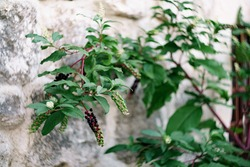 Lakonos American Phytolacca americana close up on stone texture.
