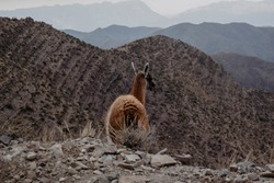 Lama guanicoe wild animals in Villavicencio natural reserve. Native South America wildlife spotted in Cordillera de los Andes. Mendoza Province. Argentina. Discover and experience adventure travel.