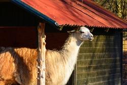 Lama hiding from the sun. Shelter for llamas. Lama in captivity.
