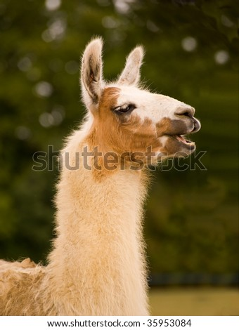 Lama in front of green foliage