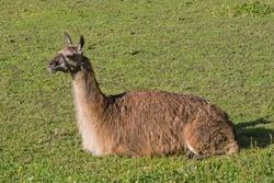 Lama is resting on a green meadow in Tyrol