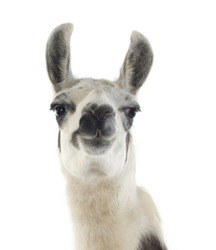 Lama - Lama glama in front of a white background