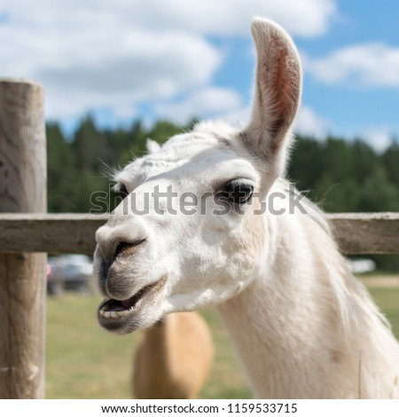 Lama posing for a picture