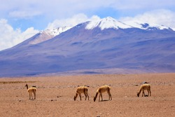Lama under Andes Mountain, Bolivia. One raise its head, they only live in high altitude desert or mountain, grass is their food. Theoretically, wild lama is called Becuniar.