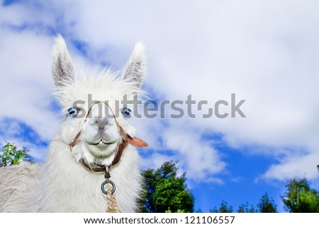 Lama with blue skyes and clowds