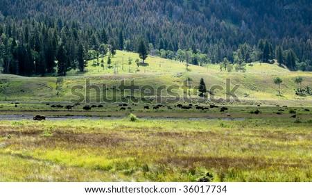 Lamar Valley Buffalo Herd in Yellowstone Park